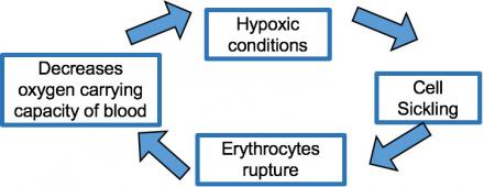 Illustration shows how hypoxic conditions feed into cell sickling that feed into erythrocyte rupture that feeds into a decrease of the oxygen carrying capacity of blood before the cycle starts again.