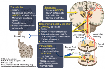 Schematic of multimodal analgesia and the actions of classes of analgesics on peripheral and central pathways