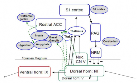 Nociceptive processing overview